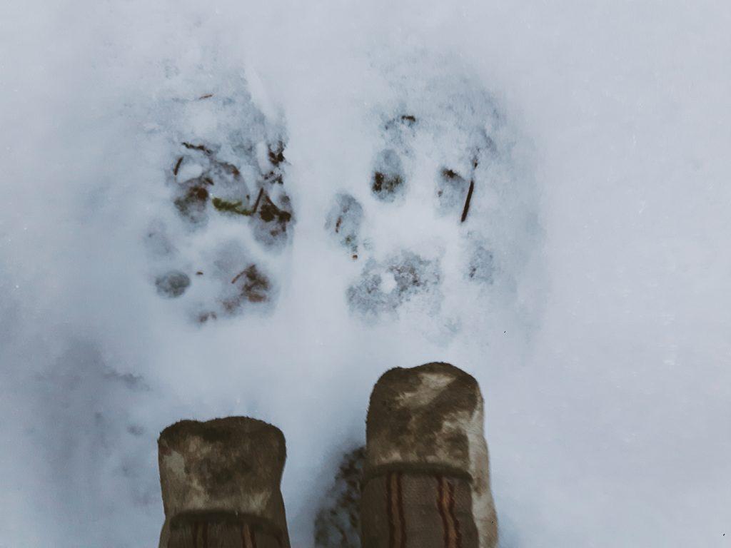 ilves jaljet lumessa