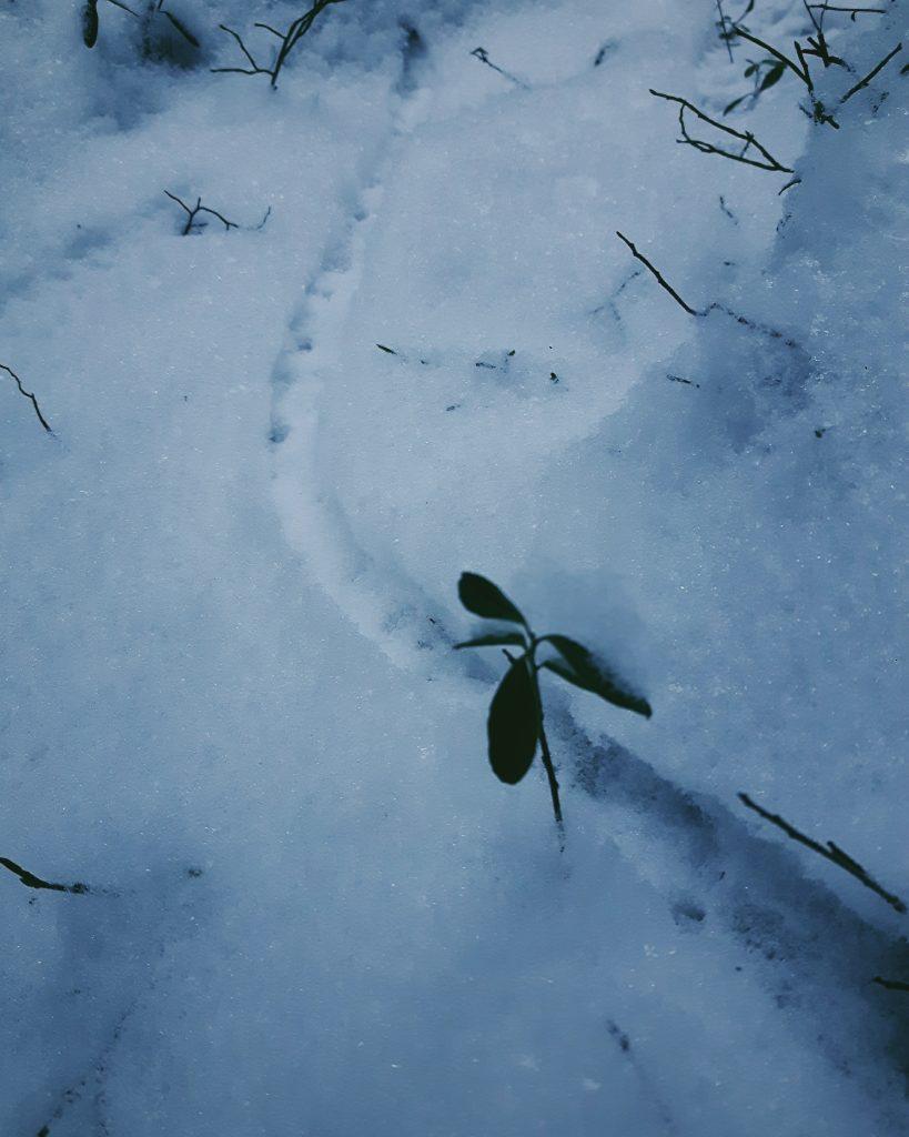hiiri hiirenpolku jaljet lumessa