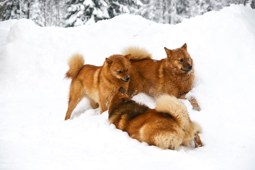 suomen pystykorva finnish spitz lauma alfa naaras koira