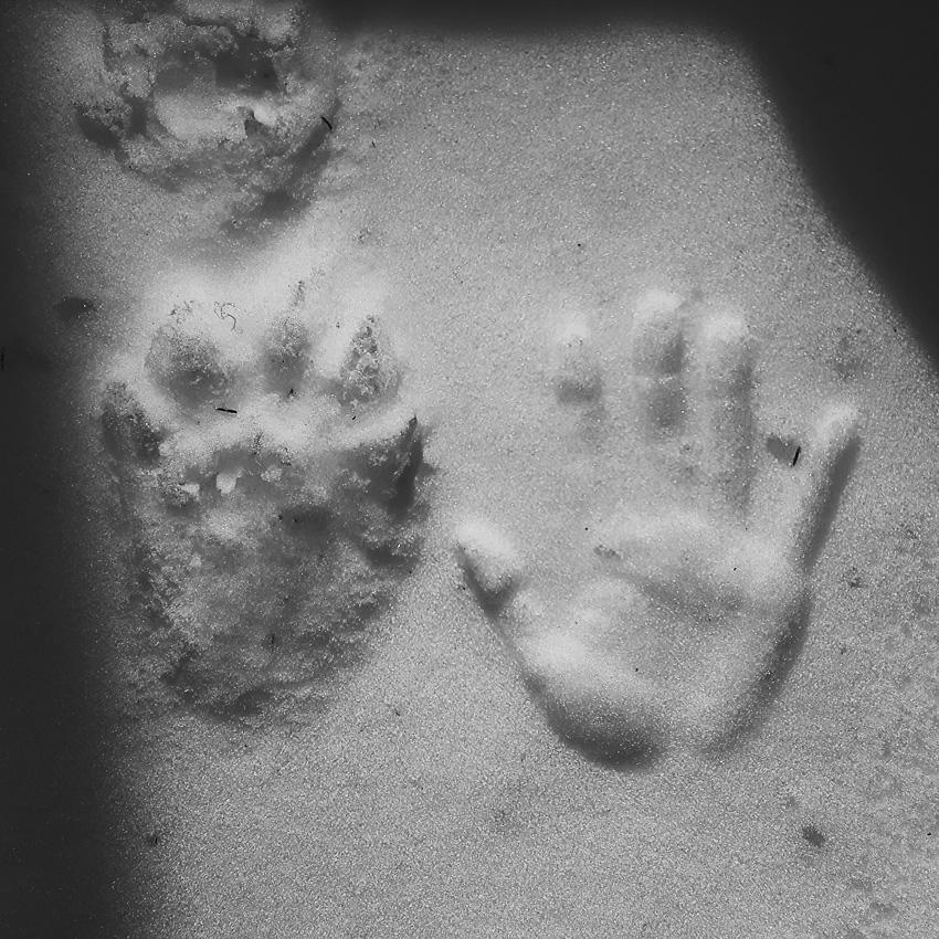 ahma-jalki-wolverine-track-on-snow-lumella-ihmisen-kammen-mustavalkoinen-suomi