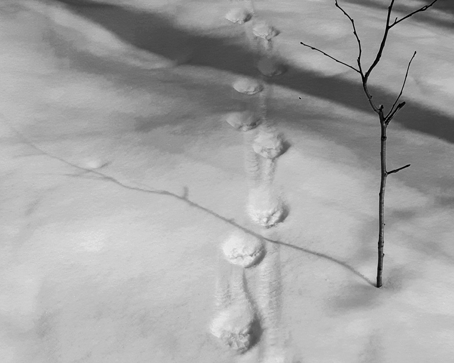 ilves-jalki-lumella-jaljet-hangella-ilveksen