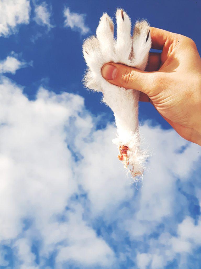 jäniksen-jalka-rabbit-feet-foot-leg-valkoinen-jänis-taivas-käpälä-kirkas-sininen