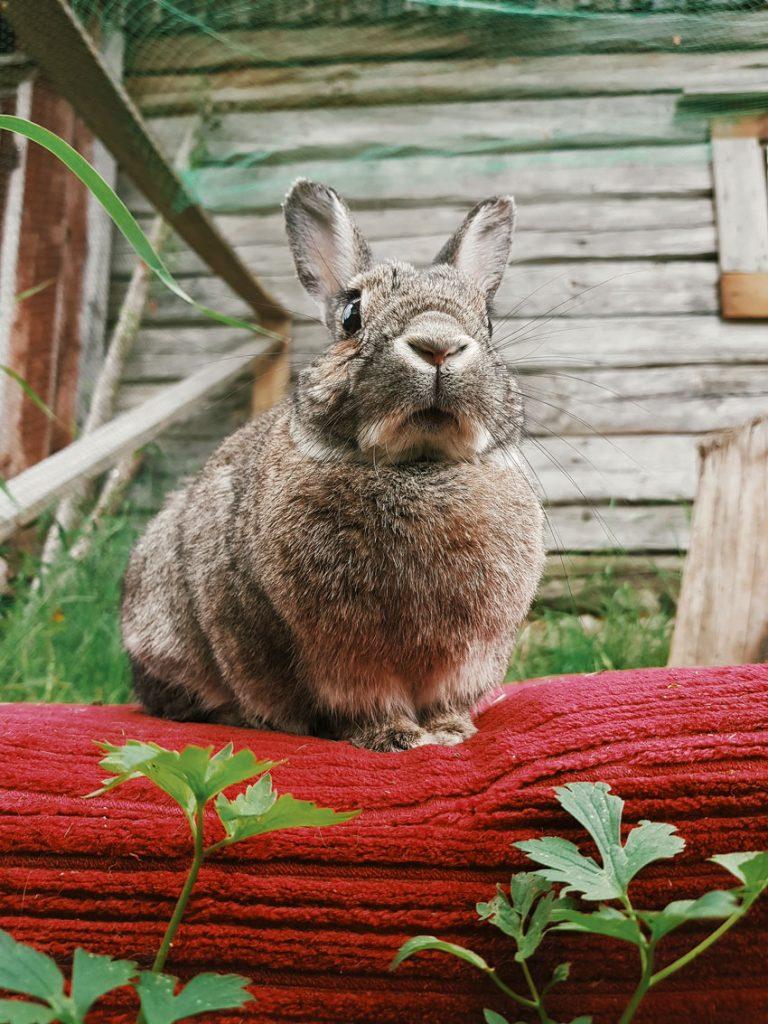 kani-hermeliini-rabbit-bunny-outside-pen-freerange-gray-little-lemmikki-janis-ulko-aitaus