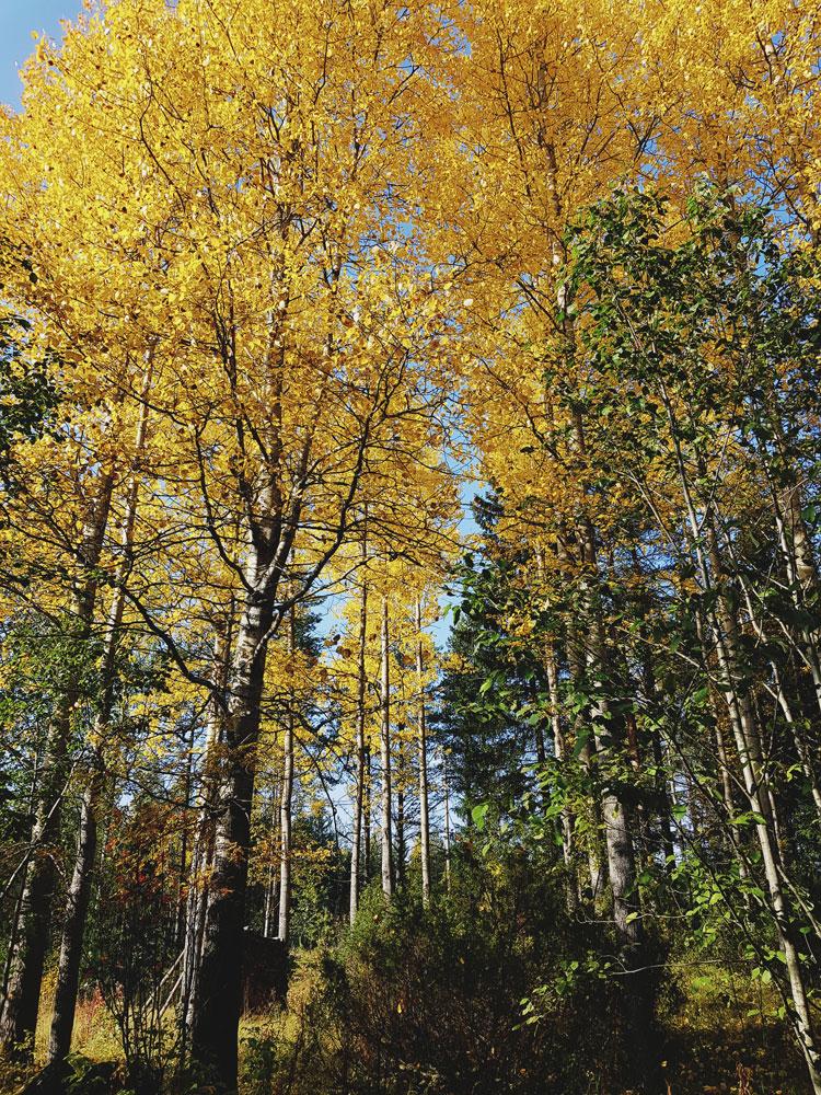 keltainen-ruska-haapa-puu-lehto-korkea-kaunis-kuulas-syksy – kopio
