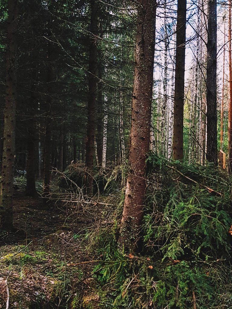 kuusikko-risu-karu-metsa-pine-tree-kuusi-harvennus-kerays-oksat-kasassa