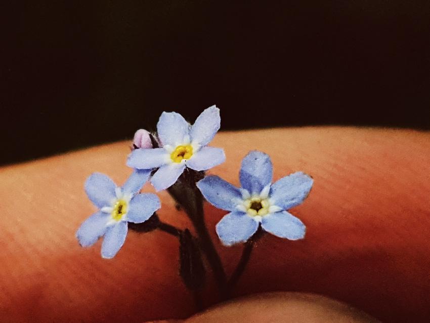 lemmikki-kukka
