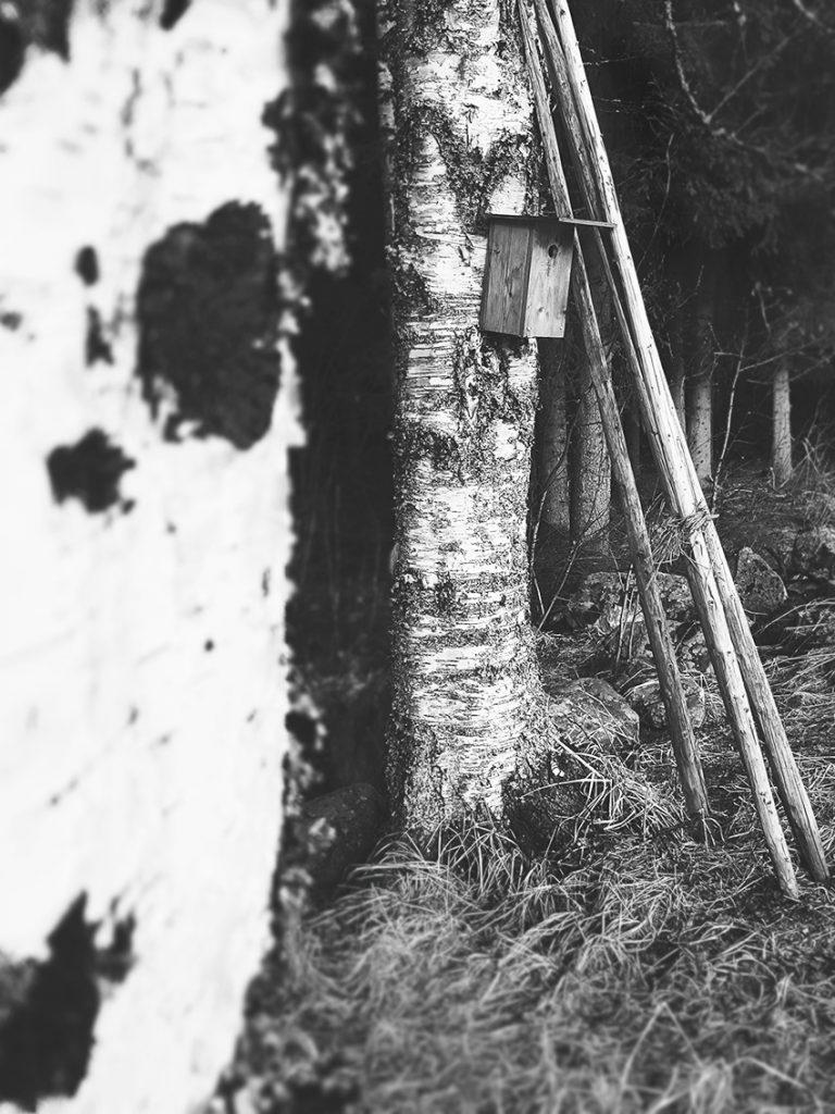 linnunpontto-koivu-birch-tree-birdhouse-heinaseivas-vanha-valokuva-maisema-suomi-finland-mustavalkoinen-black-white-kainuu-sotkamo-maisemointi