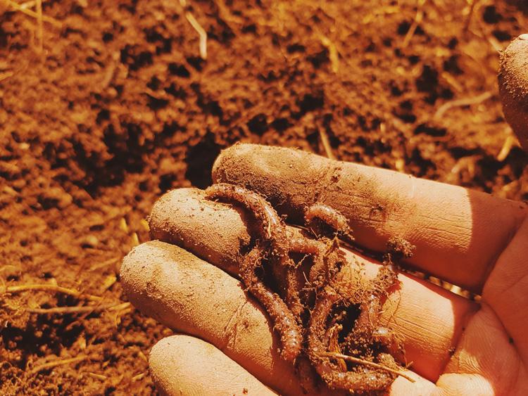 mato-matoja-kastemato-worms-kadella-in-hand-dirt-multaa
