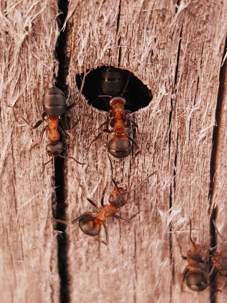 muurahainen-kannossa-pesa-muurahaispesa-kannon-sisalla