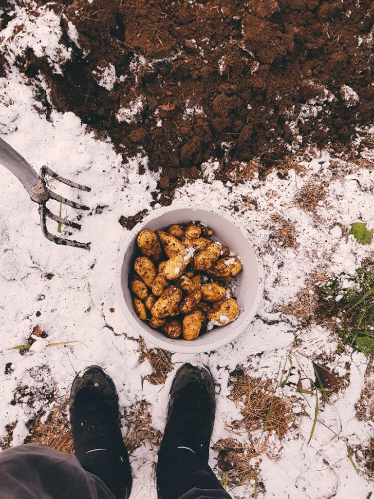 perunat-maasta-lunta-ensilumi-perunamaalla