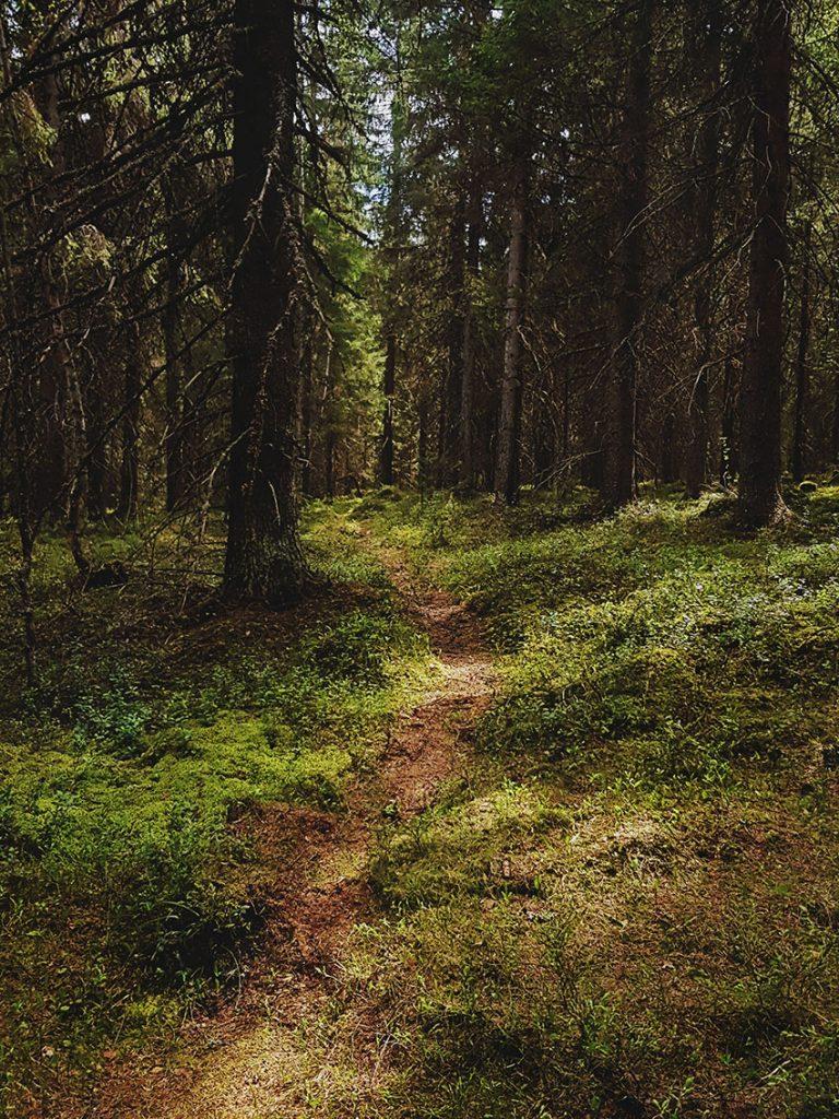 polku-pathway-old-forest-metsa-kuusikko-vanha-kinttupolku-kainuu