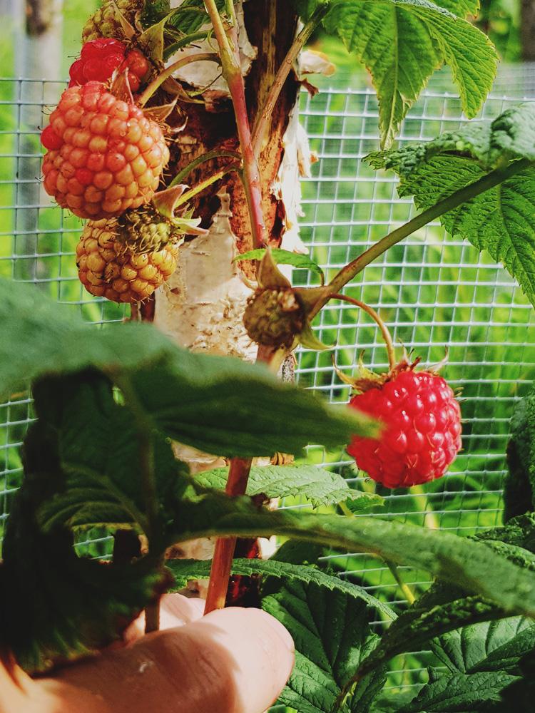 puutarha-vadelma-punainen-kypsa-vadelmapensas-uusi-2-vuotta-vanha-vihrea