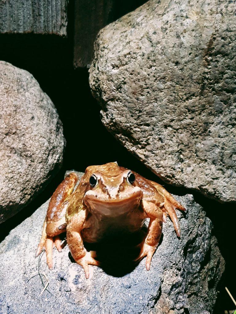 sammakko-kivella