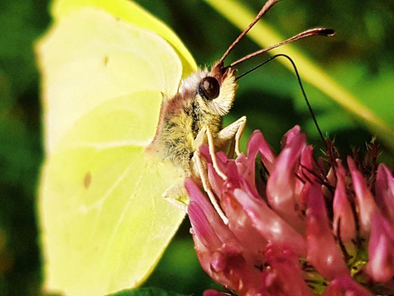 sitruuna-keltainen-perhonen-puna-apila-lahikuva-perhosesta-perhonen-imee-metta-apilasta-768x576 – kopio