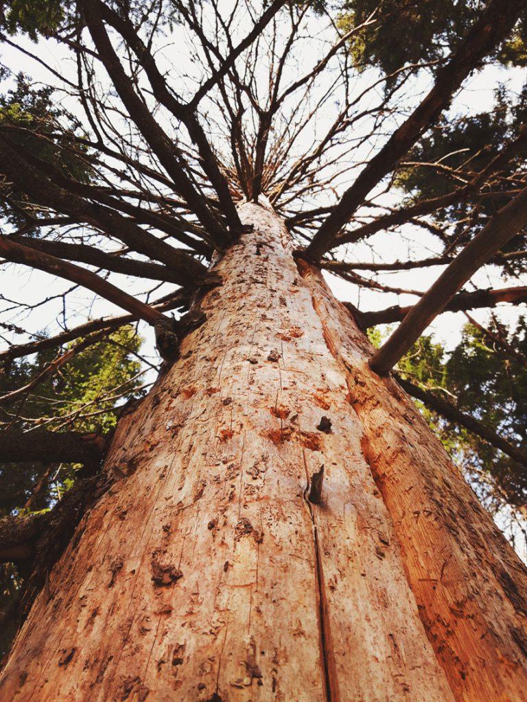 vanha-kuusi-200-vuotias-kuivunut-kelo-tikka-pesapuu-runko-tikankolo-kainuu-metsa