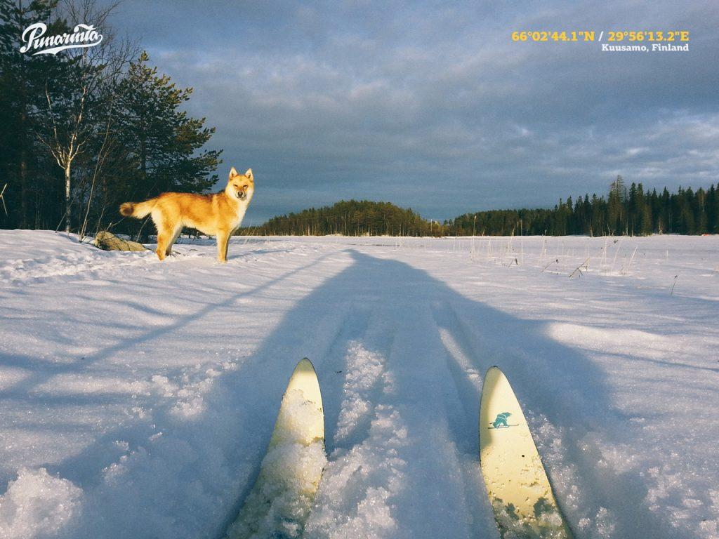 vavelahti-ronte-finnish-spitz-pystykorva-koira-finland-kuusamo-mainostoimisto-punarinta-location-scout-lapland