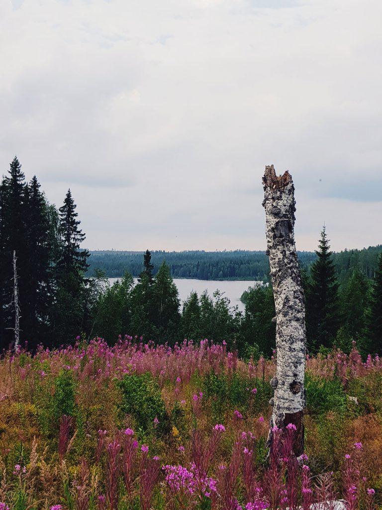 savonjarvi-sotkamo-maisema-laho-koivu-pokkelo-vaaramaisema-vesisto-horsmikko-hakattu-alue-kuusirinne