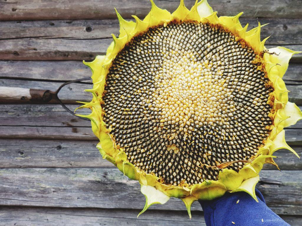 iso-auringonkukka-kasvatus-auringonkukan-mykero-siemenet-siemenia-talteen-kerays-siemenkota-suuri-kukinto-hirsiseinaa-vasten