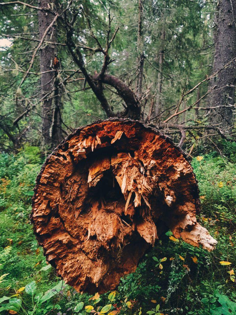 lahopuu-kuusi-katkennut-vanhassa-metsassa-pokkelo