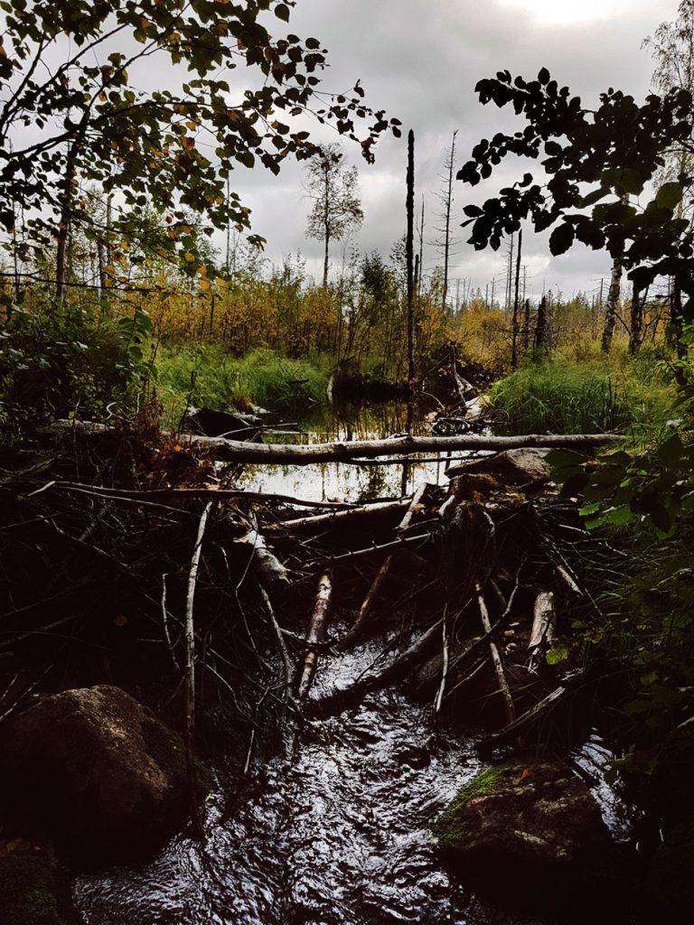 majava-pesa-majanvan-pato-puro-soistunut-noussut-vesi-lahonneet-puut-kehys