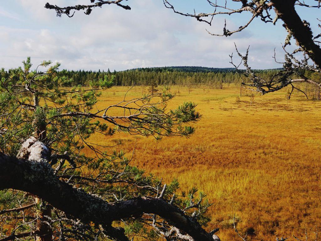 suo-ruska-maaruska-kainuu-luonnontilainen-aapasuo-vaara-maisema-keltainen-hiljainen-maisema-sotkamo-suomiretki-valokuvaus