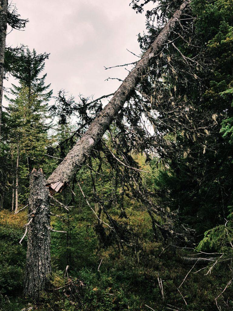 vanha-kuusi-lahopuu-kelo-kaatunut-toista-puuta-vasten-konkelo-metsa-lumituho-kesalla-luonnontilainen-metsa-kainuu-sotkamo