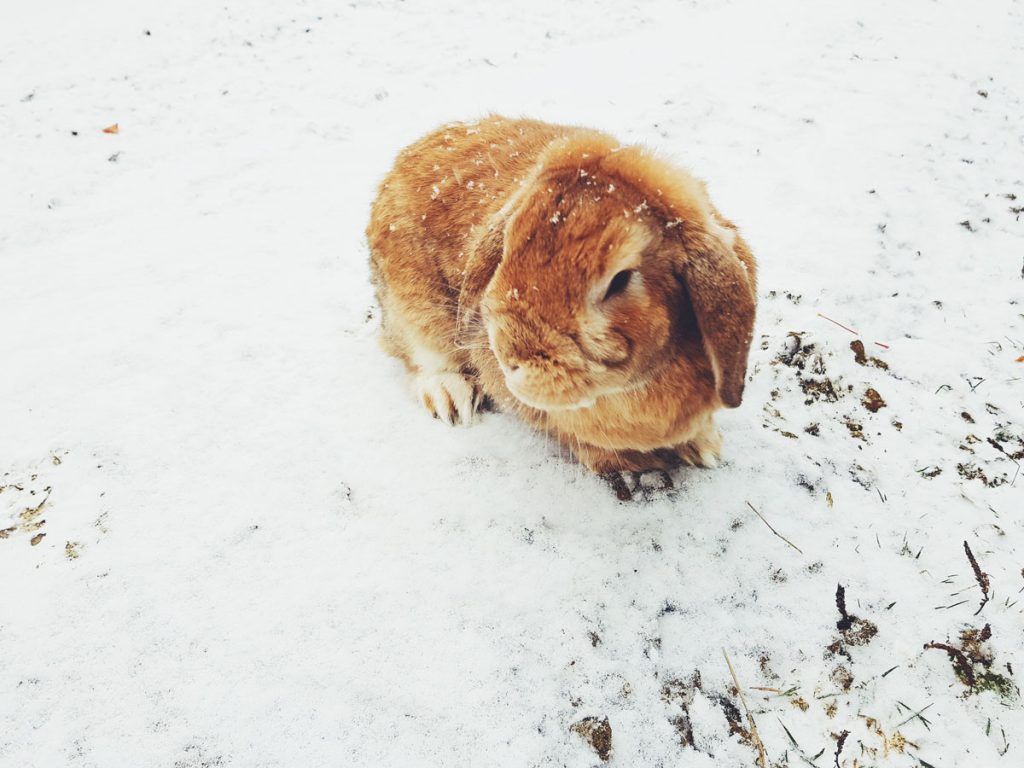 kani-toffee-ruskea-leijona-luppakorva-bunny-lop-eyer-brown-ensilumi-ulkona-snowfall