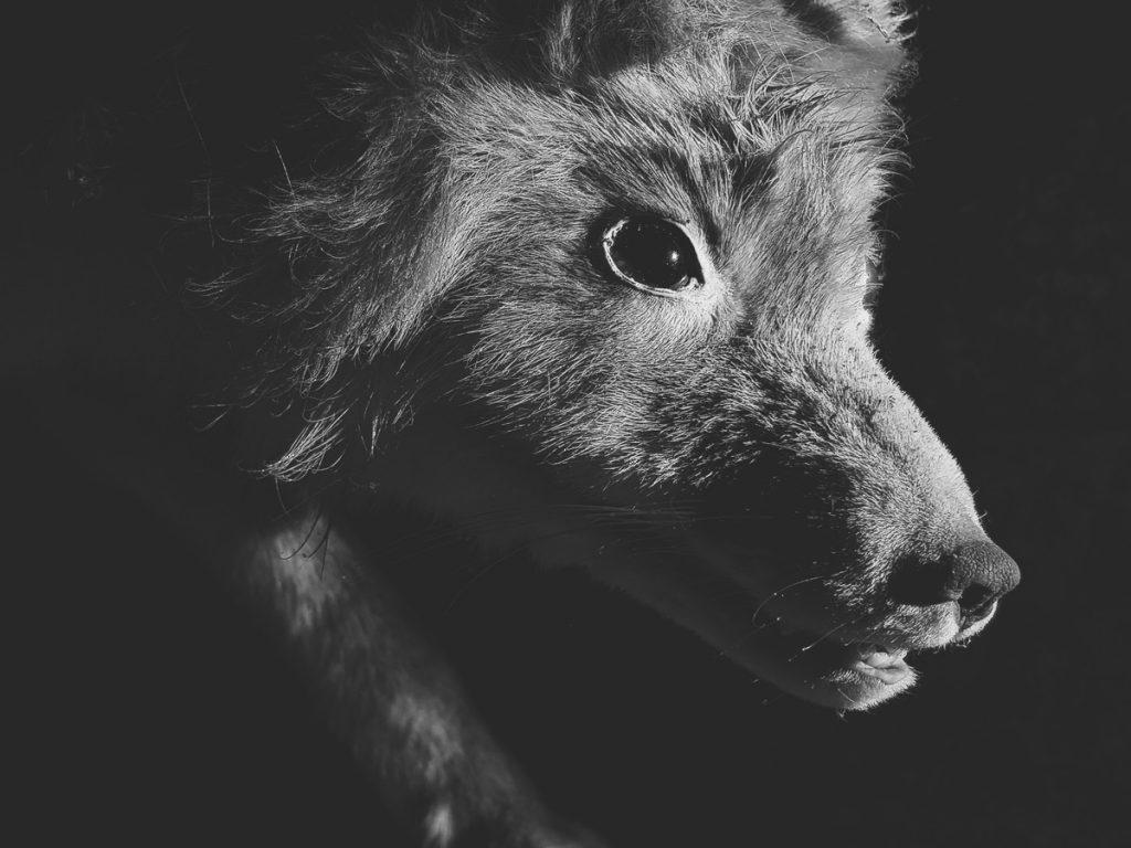 kettu-lahikuva-naamasta-fox-vulpus-vulpus-photo-closeup-ketun-mustavalkoinen