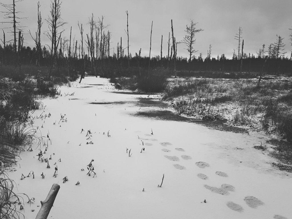 syrjainen-suopuro-kainuu-sotkamo-mustavalkoinen-maisema-ensilumi-puro-majavan-jaljet