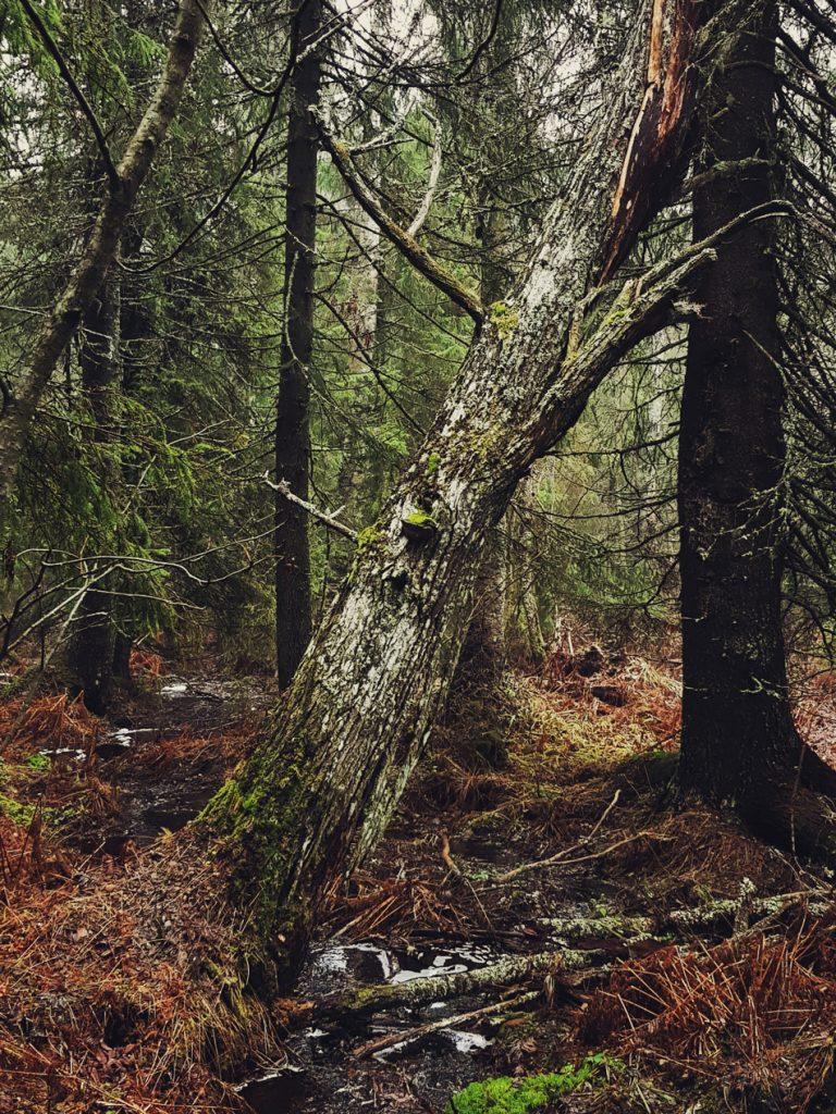 vanha-lahopuu-haapa-kaatunut-puro-luonto