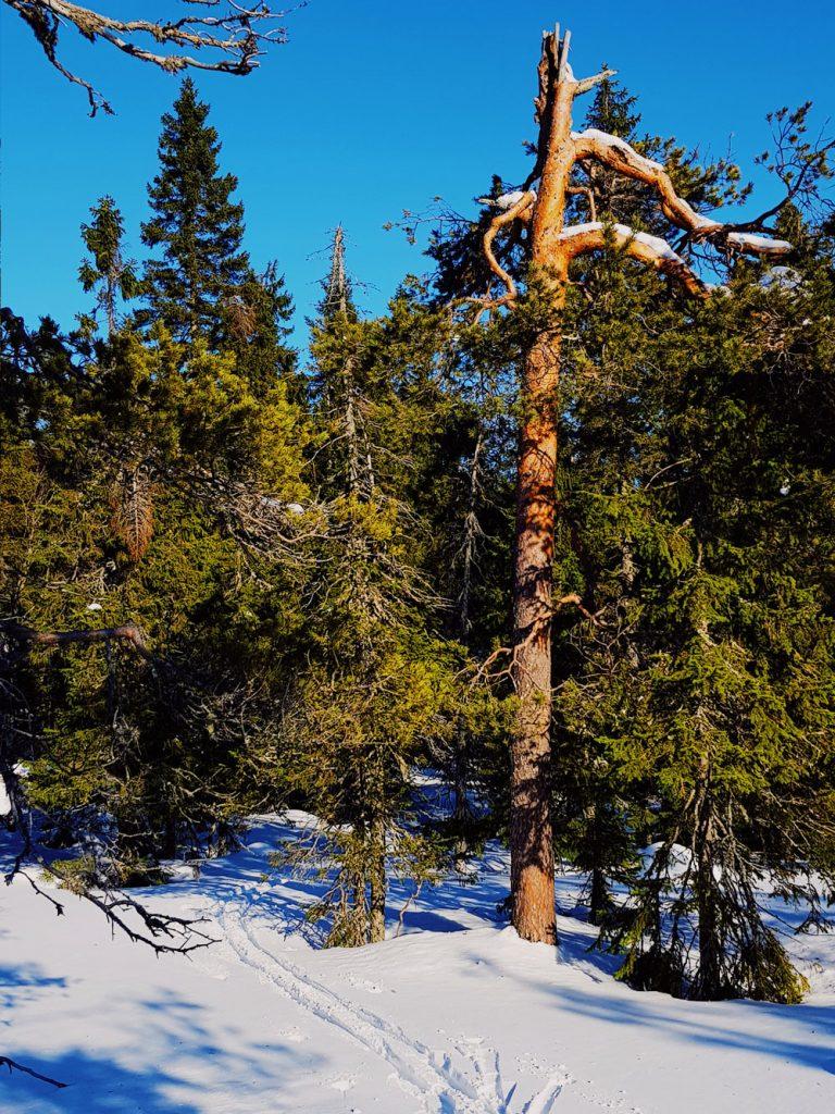 vanha-manty-puu-arvokas-katkennut-latva-keltainen-runko-kevat-auringossa-hiihtolatu-luonnonsuojelu-alue-kainuu-sotkamo