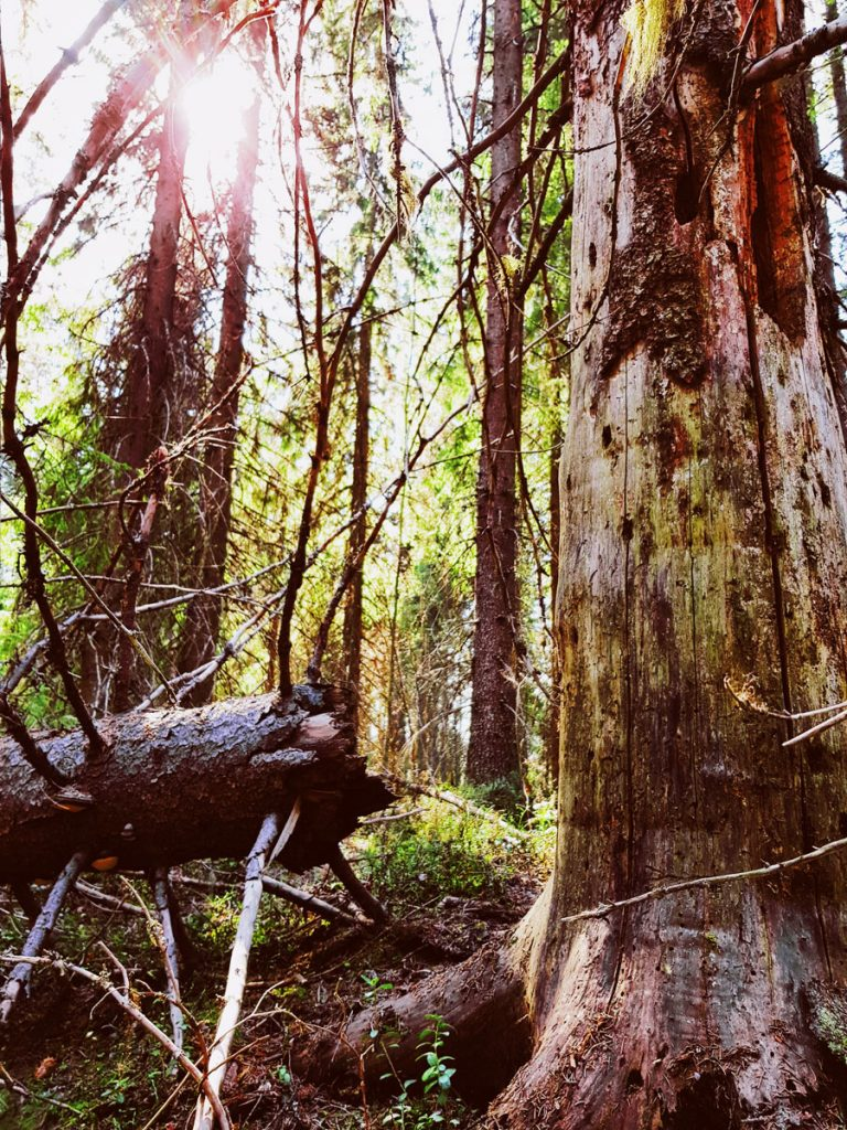 elavaa-metsaa-laho-puu-vanha-kuusi-katkennut-kolo-lahossa