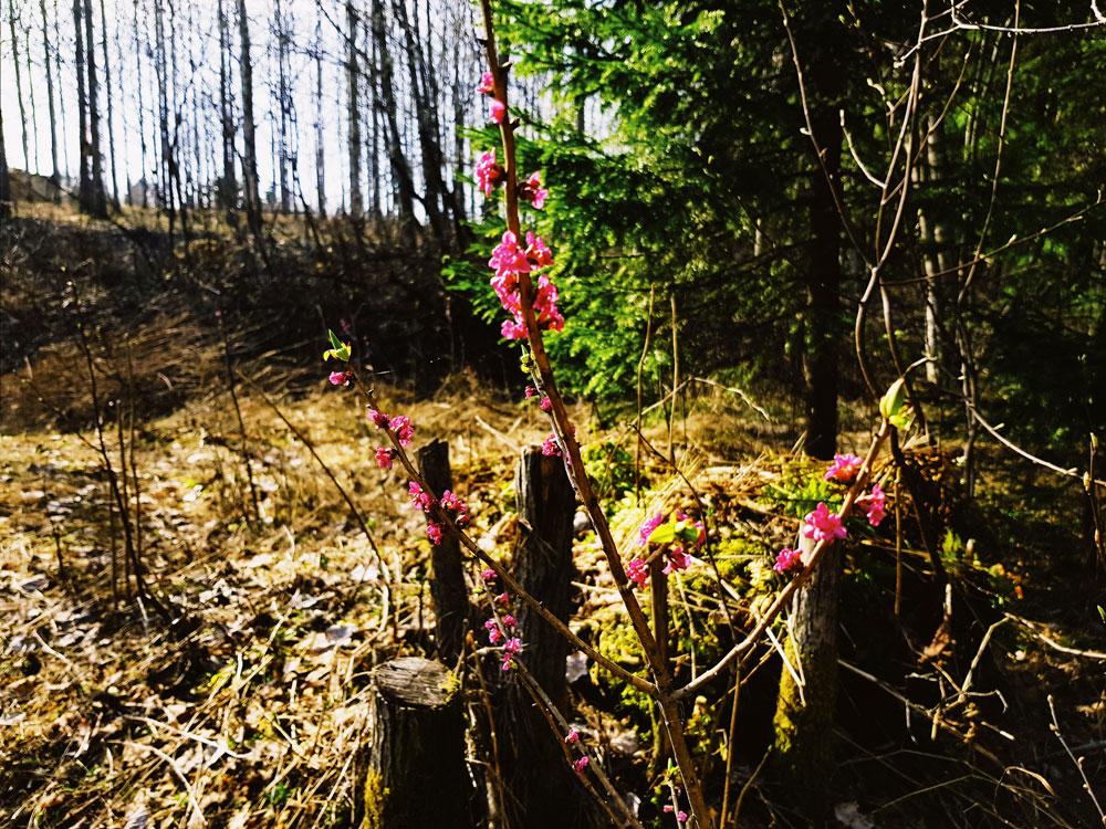 nasia-sudenmarja-kukka-kukkii-kevaalla