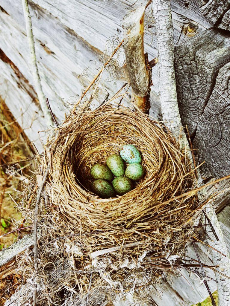 rastaan-pesa-vihrea-linnun-muna-hirren-paalla