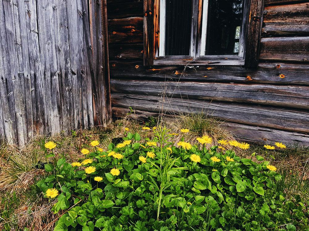 vuohenjuuri-keltainen-kukka-autiotalon-pihalla-hirsi-ikkunan-alla