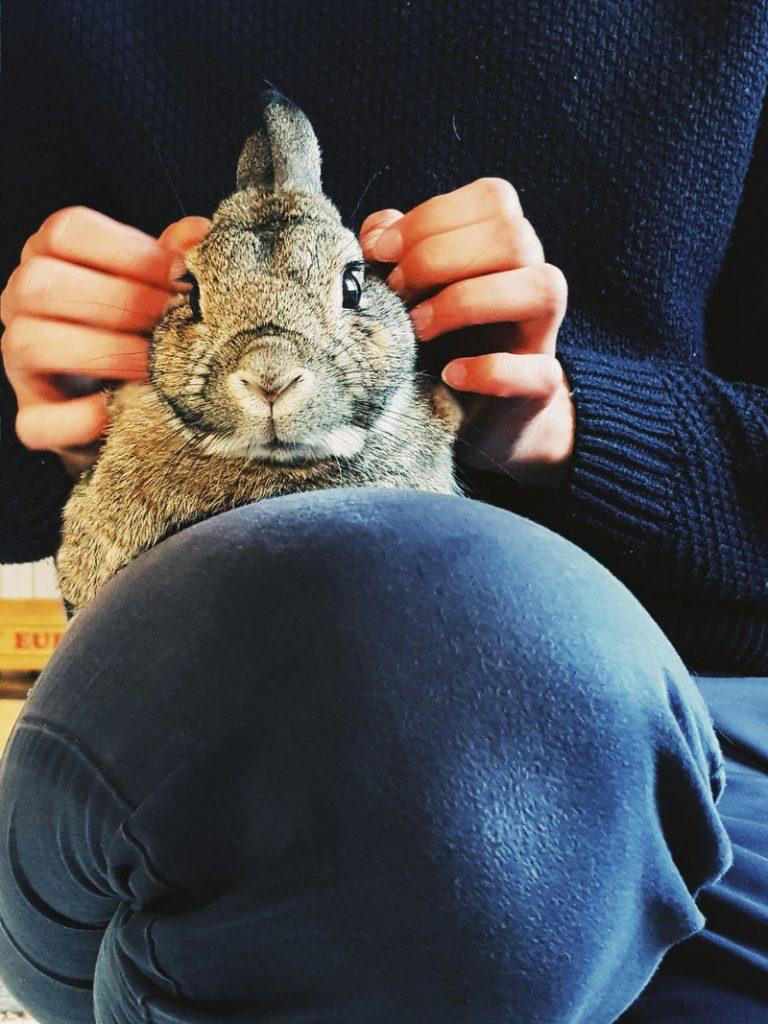 hermeliini-bunny-rabbit-kani-harmaa-ihmisen-sylissa-on-lap