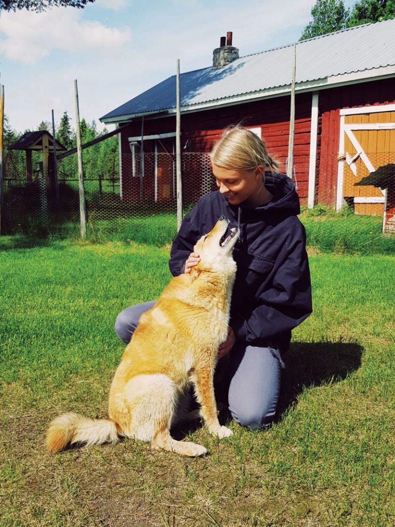 suomen-pystykorva-finnish-spitz-punainen-mokki-hirsinavetta-maaseutu-kesa