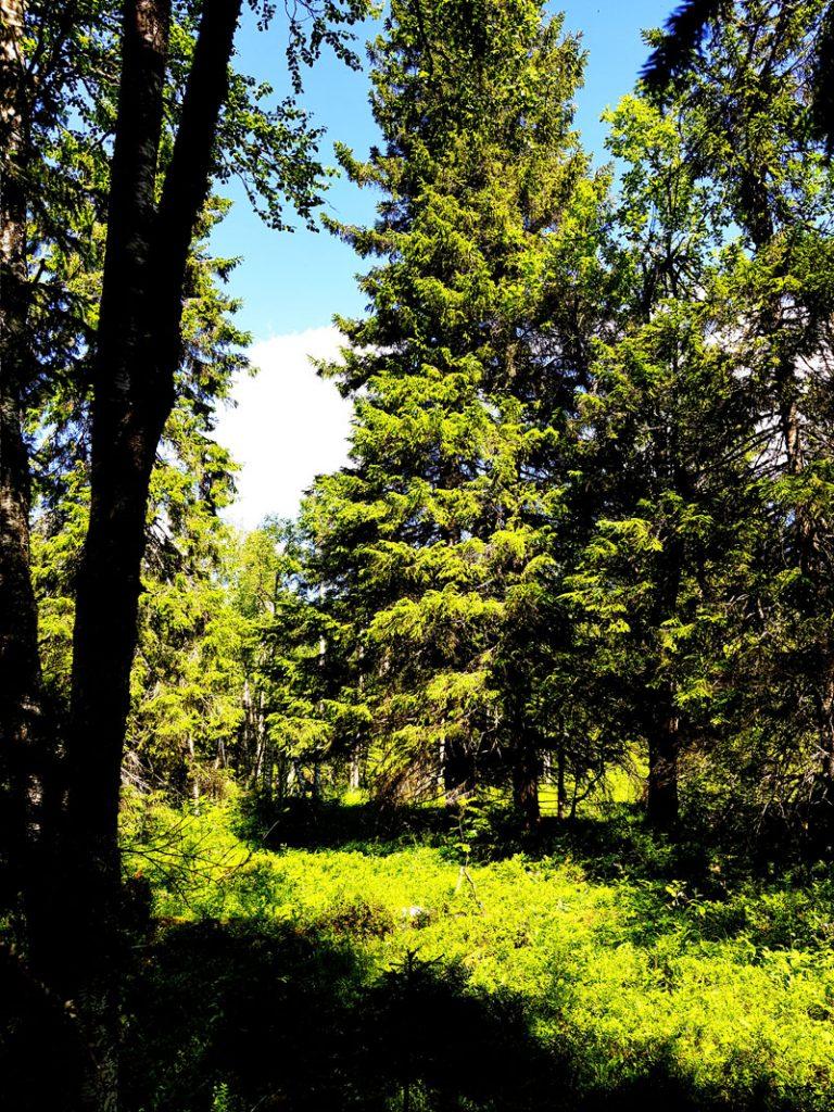 vaara-kuusikko-vanha-asuinpaikka-autio-metsan-keskella-natura-alue-sotkamo