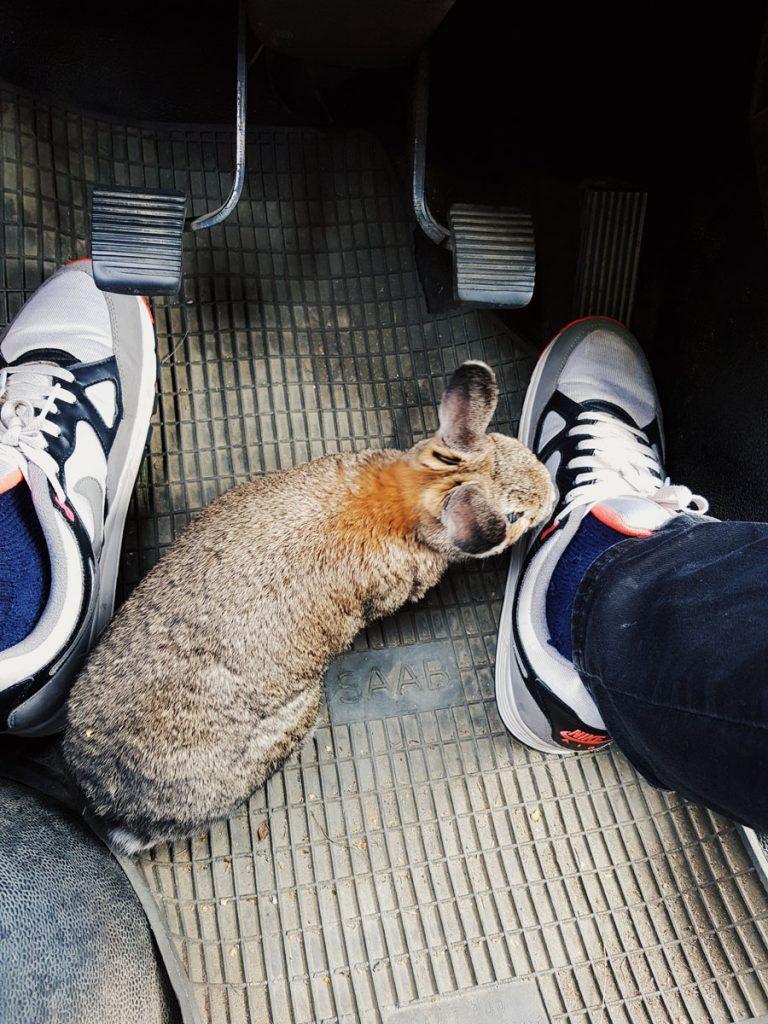 bunny-on-car-kani-autossa
