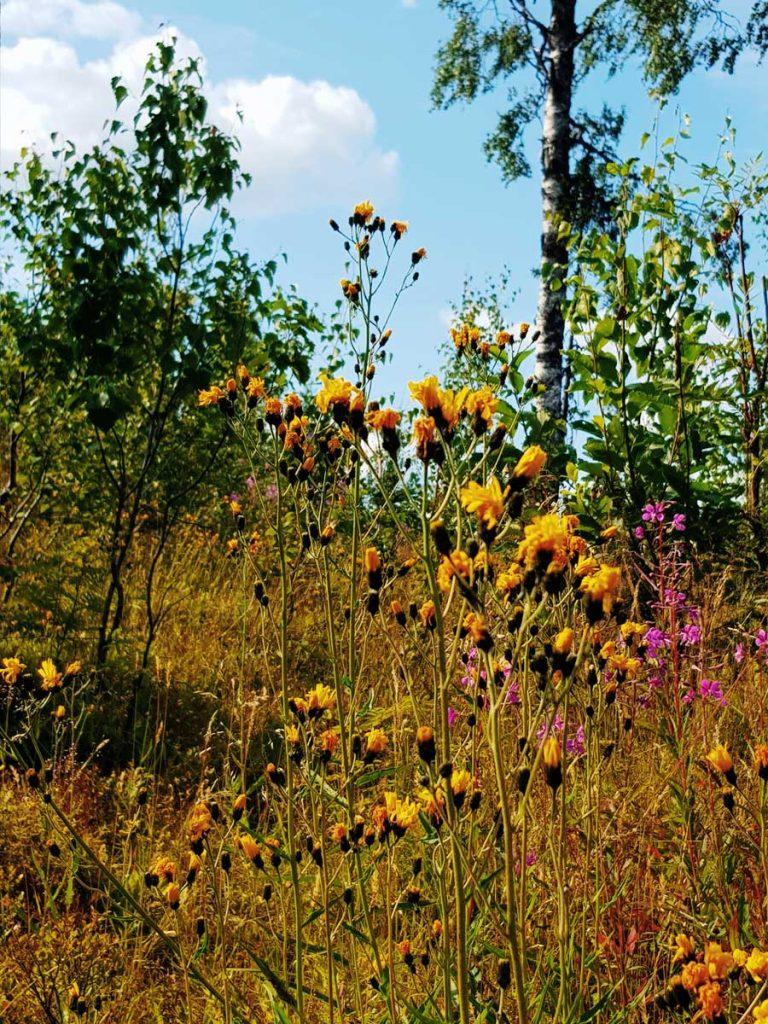keltainen-kesa-myohais-kesa-loppukesan-kukkia