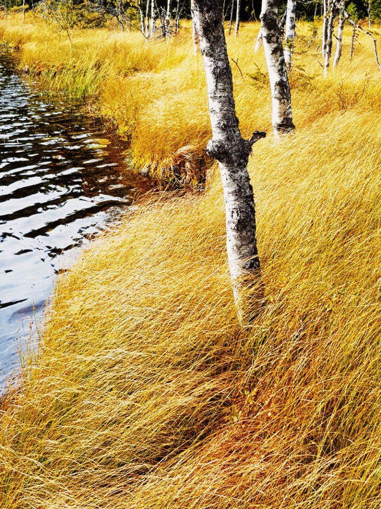 kulo-heina-keltainen-suolammen-ranta-rantakoivu