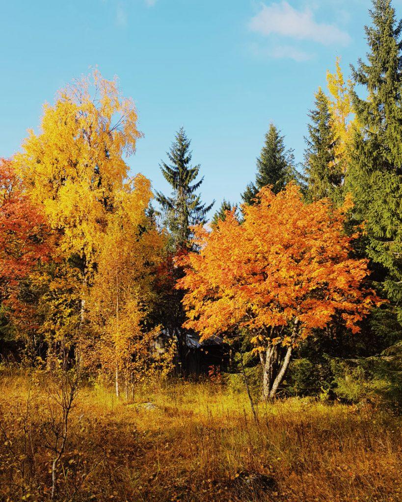 ruskan-varit-syksy-keltainen-oranssi-auringossa-kainuun-sotkamo-vuokatti-ruska-autumn